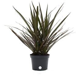 Dragon Tree Live Plant